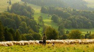 放牧された家畜