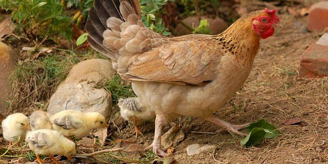 ストレスなく健康的に育った鶏